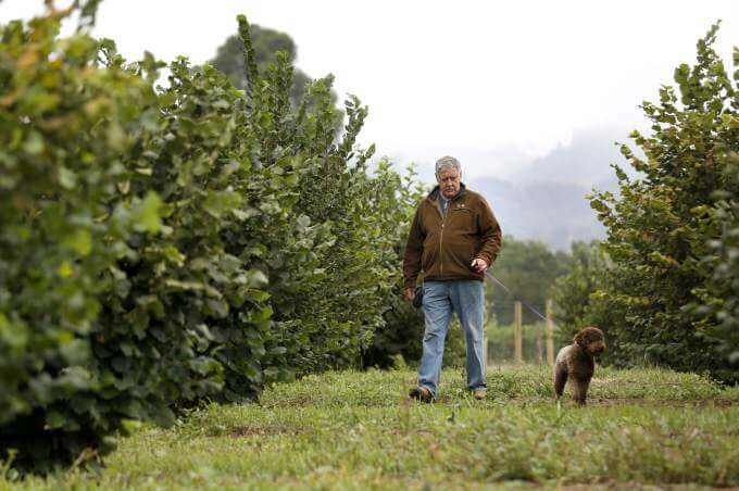 Fran Angerer trains his dog, Tuber, a Lagotto Romagnolo, to smell truffles in the ground attached to the roots of the hazelnut trees at the Angerer Family Farm in Geyserville. (BETH SCHLANKER/ The Press Democrat)