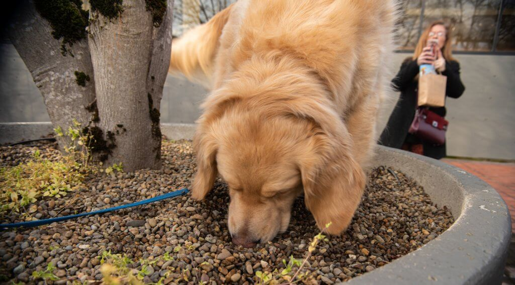 The Truffle Dog Demo is a chance to see a truffle dog at work – in an urban setting. She's on it! – Photo by Kathryn Elsesser